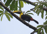 Chestnut-mandibled Toucan2