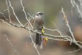Long-tailed Mockingbird