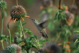 Spot-throated Hummingbird2