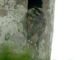 Tawny-bellied Screech-Owl2