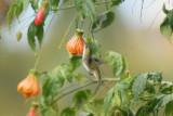 White-bellied Hummingbird