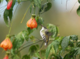 White-bellied Hummingbird2