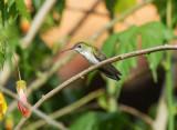 White-bellied Hummingbird3