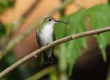 White-bellied Hummingbird4