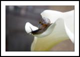 Gastropod on lily