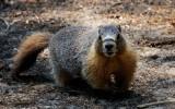 Marmot at May Lake