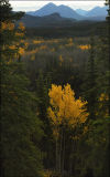 Sunlight on the Aspens