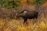Moose_001.jpg