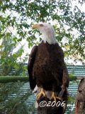 American Bald Eagle by MJ