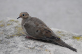 Mourning dove at Ochre Court