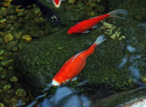 orange-red koi carp