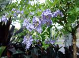 lavender-colored blossoms