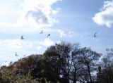 gulls over Roosevelt Pond