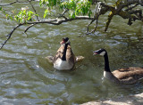 cheeky geese