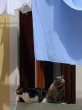 due gatti veneziani -1160236.jpg
