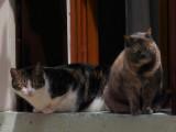 due gatti veneziani -1160237.jpg