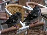 venezia-1210308- piccione.JPG