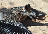 Sunbathing Roadrunner