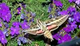 White- Lined Sphinx
