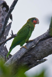 Rose-throated Amazon Parrot