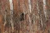 Hiding Young Moose