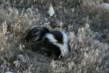 Burrowing Skunk