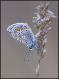 Common Blue / Icarusblauwtje / Polyommatus icarus