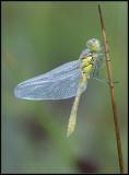 Common Darter / Bruinrode Heidelibel
