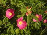 Roses, St-Onésime-d'Ixworth