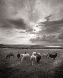 Little flock of sheep