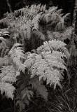 Frostbit fern