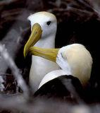 Albatrosses & large birds