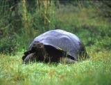 Tortoises, Iguanas & Crabs