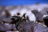 Marine Iguana with a lava lizard hat (aka Iggy Boone)