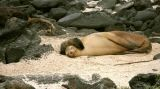 Sea lion with pup