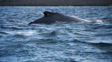Humpback whale from our panga