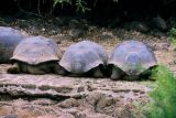 Galapagos Tortoises...tourist view