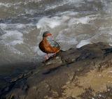 Torrent Duck female