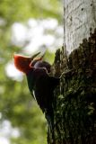 Magellanic Woodpecker male