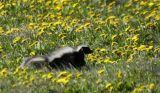 Patagonian Hog-nosed skunk