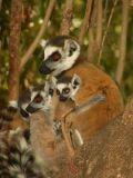 Three sizes of ring-tailed lemurs