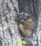 Milne-Edwards sportive lemur