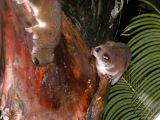 Greater dwarf lemurs