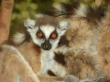 Ring-tailed lemur youngster