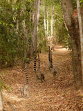 Ring-tailed lemurs following us on the trail