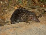 Greater hedgehog tenrek