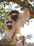 Verreaux sifaka and young