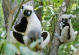Coquerel's sifaka and young