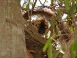 Red-fronted brown lemur youngster