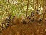 Ring-tailed lemur family